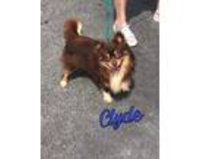 Adopt Clyde a Pomeranian