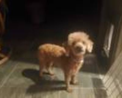 Adopt SIDNEY a Red/Golden/Orange/Chestnut Poodle (Toy or Tea Cup) / Mixed dog in