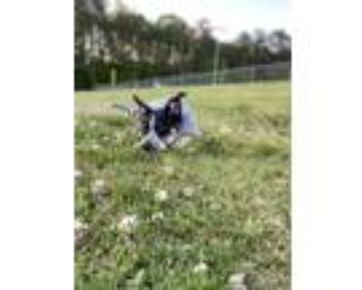 Adopt Bode a Black - with White Border Collie / Australian Cattle Dog / Mixed