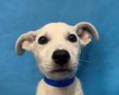 Adopt Lexo a Tan/Yellow/Fawn Labrador Retriever / Black Mouth Cur / Mixed dog in