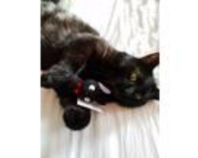Adopt Jiji a All Black Manx / Mixed (medium coat) cat in Springfield