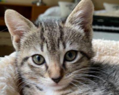 Turner - Domestic Shorthair - Kitten Female