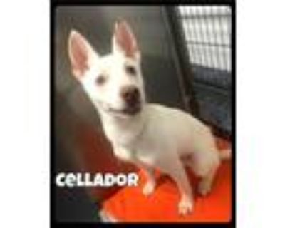 Adopt Cellador - 2106150 / 2021 a White Siberian Husky / Mixed dog in Maumelle