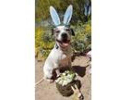 Adopt Big Jim a Pit Bull Terrier, Boxer
