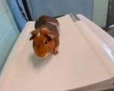 Adopt A5430506 a Guinea Pig