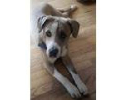 Sawyer, American Staffordshire Terrier For Adoption In Colorado Springs