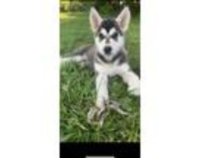 Adopt Russel a Black - with White German Shepherd Dog / Husky / Mixed dog in