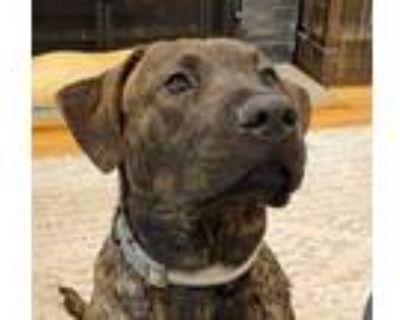 Adopt Novak a Labrador Retriever