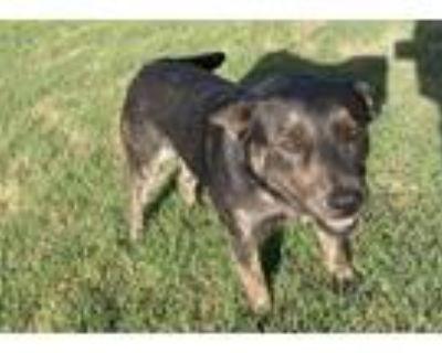 Adopt BUCKY a Australian Cattle Dog / Blue Heeler, Mixed Breed