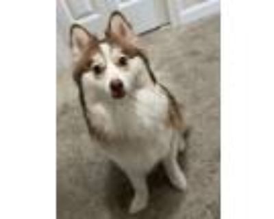 Adopt Rex a White - with Tan, Yellow or Fawn Pomeranian / Husky / Mixed dog in