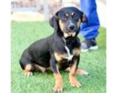 Adopt Abbott a Dachshund, Terrier