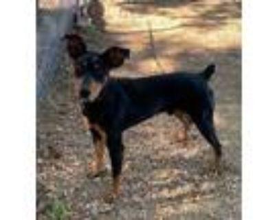 Adopt Scooter a Black Doberman Pinscher / Mixed dog in Grand Prairie