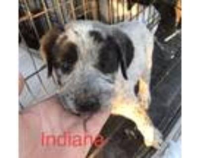 Adopt Indiana a Australian Cattle Dog / Blue Heeler