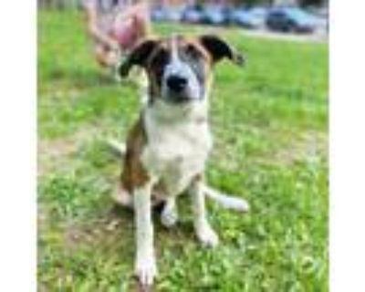 Adopt Harper a Collie, Australian Cattle Dog / Blue Heeler