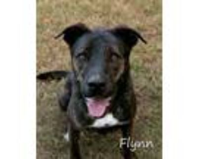 Adopt Flynn a Brindle - with White Hound (Unknown Type) / Mixed dog in