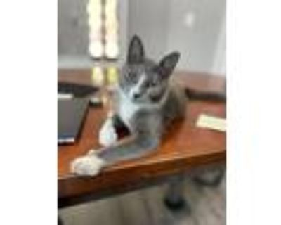 Adopt Eggo a Gray or Blue (Mostly) Russian Blue / Mixed (short coat) cat in