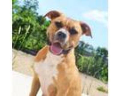 Adopt Clarabelle a Brown/Chocolate Boxer / Mixed dog in Atlanta, GA (32097081)