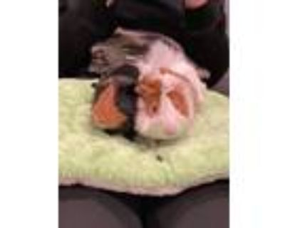 Adopt Chess a Black Guinea Pig small animal in Pasco, WA (32112552)