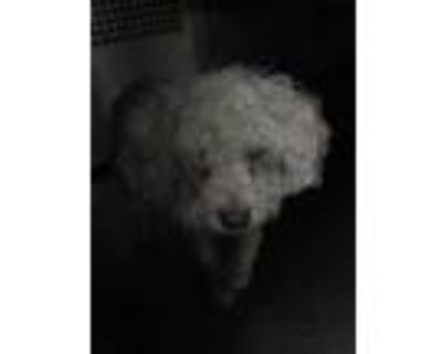 Adopt 47933355 a White Poodle (Miniature) / Mixed dog in Fort Worth