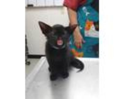Adopt Kirby a All Black Domestic Shorthair / Domestic Shorthair / Mixed cat in