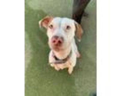 Adopt Mystery a Tan/Yellow/Fawn American Pit Bull Terrier / Mixed dog in El