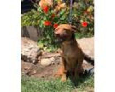 Adopt Baxter a Red/Golden/Orange/Chestnut Dachshund / Pit Bull Terrier / Mixed