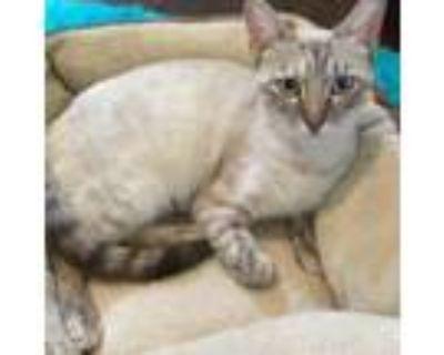 Adopt Mae a Siamese, Domestic Short Hair