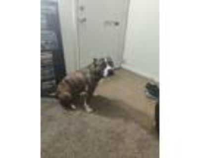 Adopt Abigail a Brindle American Pit Bull Terrier dog in Huber Heights
