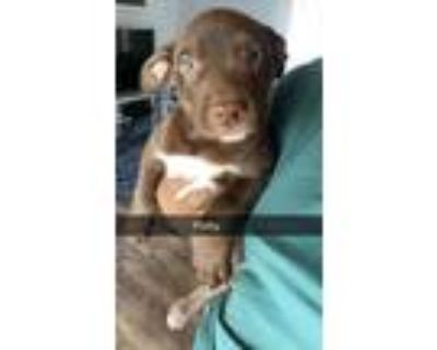 Adopt PORKY a Pit Bull Terrier
