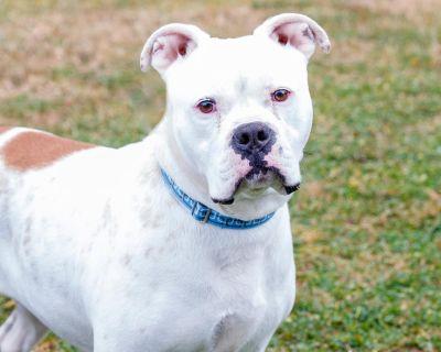 Lola 10888 - Bulldog, American/Boxer - Adult Female