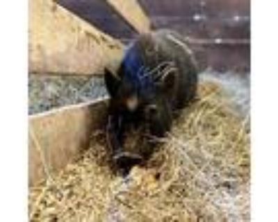 Pearly, Pig (farm) For Adoption In Asheville, North Carolina