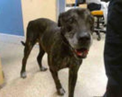 Adopt ABU a Brindle Mastiff / Cane Corso / Mixed dog in Doral, FL (32049357)