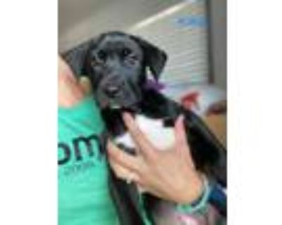 Adopt Kit Kat a Black - with White Hound (Unknown Type) / Pointer dog in
