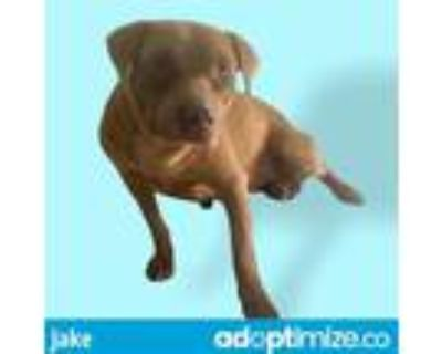 Adopt JAKE a Brown/Chocolate American Pit Bull Terrier / Labrador Retriever /