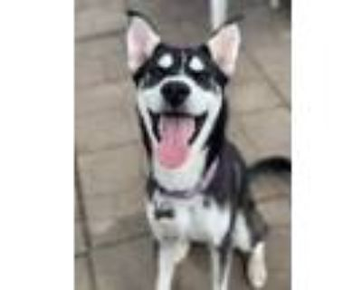 Adopt Ty a Black Husky / Mixed dog in West Allis, WI (31851658)
