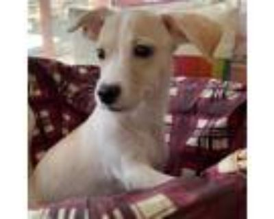 Adopt Rainbow a Tan/Yellow/Fawn Beagle / Hound (Unknown Type) / Mixed dog in