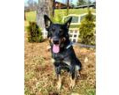 Adopt Bandit a Cattle Dog, Mixed Breed