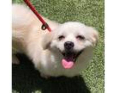 Adopt Oso a White Pomeranian / Mixed Breed (Small) / Mixed dog in Los Angeles