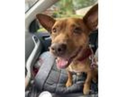 Adopt Pinky a Brown/Chocolate - with White Cattle Dog / Canary Dog dog in