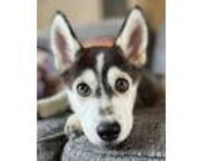 Adopt Cicero a Siberian Husky / Mixed dog in Matawan, NJ (31419644)