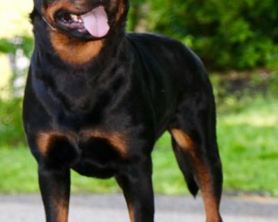 Rottweiler Puppies Ready to Go!