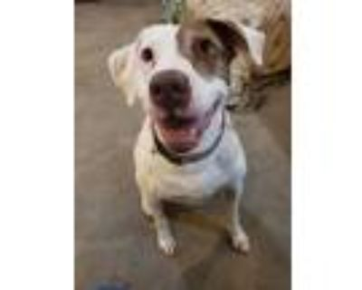 Adopt India a Pointer, Brittany Spaniel