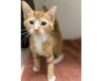 Adopt QUARRY a Orange or Red Tabby Domestic Shorthair / Mixed (short coat) cat