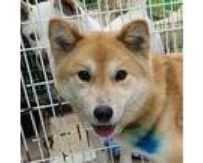 Adopt Edna a Tan/Yellow/Fawn - with White Jindo / Spitz (Unknown Type