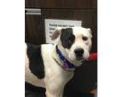 Adopt 48240543 a White American Pit Bull Terrier / Mixed dog in Los Lunas