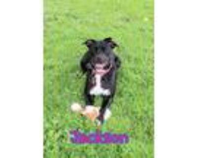 Adopt Jackson a Labrador Retriever / American Pit Bull Terrier / Mixed dog in
