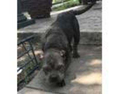 Adopt 48027491 a Gray/Blue/Silver/Salt & Pepper American Pit Bull Terrier /