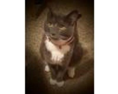 Adopt Catalaya a Gray or Blue Domestic Mediumhair / Mixed (medium coat) cat in