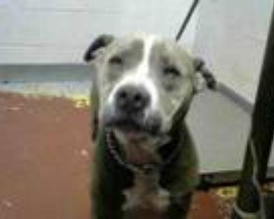 Adopt DIZZY a Pit Bull Terrier