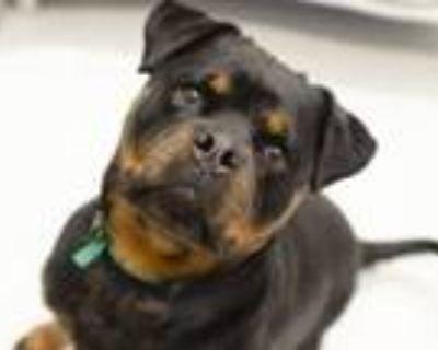 Adopt PIGGY SUE a Rottweiler